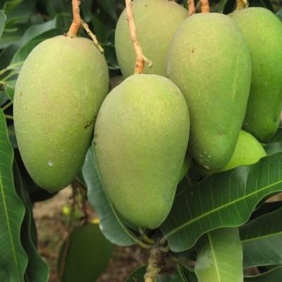 供应广西芒果苗示范场 玉林芒果树批发