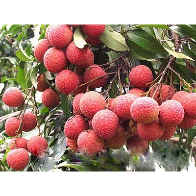 供应玉林荔枝基地 荔枝树和荔枝苗简介
